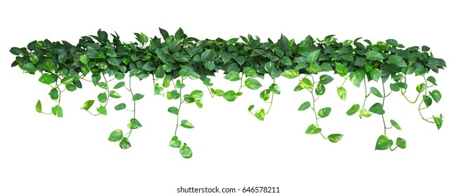 Heart shaped green yellow leaves of devil's ivy or golden pothos, bush with hanging branches isolated on white background, clipping path included.
