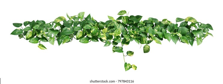 Heart shaped green yellow leaves ivy isolated on white background, clipping path included.
