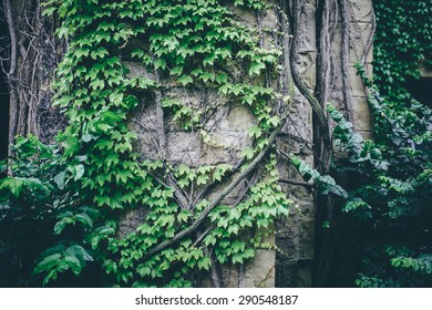 Heart shaped Ivy on the old building wall