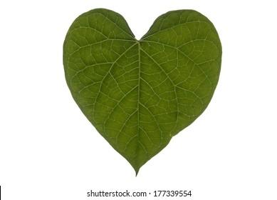 A heart shaped leaf on a white background.
