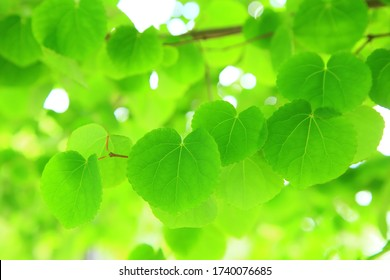 Heart shaped leaves in spring