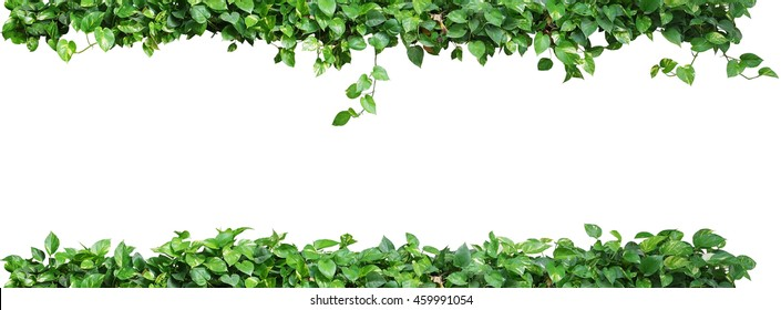Heart shaped leaves vine, devil's ivy, golden pothos, isolated on white background. Ornamental plant  with natural fresh and dried leaves.