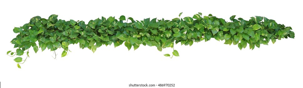 Heart shaped leaves vine devils ivy stock photo edit now 436795321 heart shaped leaves vine devils ivy golden pothos isolated on white background mightylinksfo
