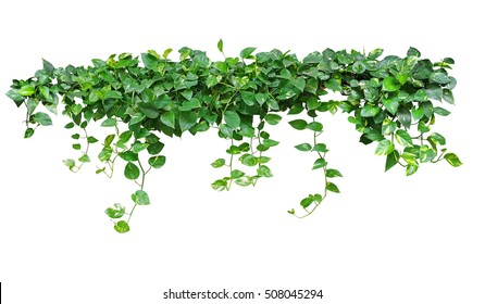 Heart shaped leaves vine, devil's ivy, golden pothos, isolated on white background, clipping path included