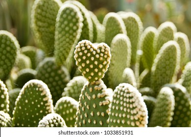Heart Shaped Paddle on a Prickly Pear Cactus