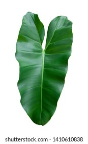 Heart shaped of Philodendron Leaf isolated on white background included clipping path.