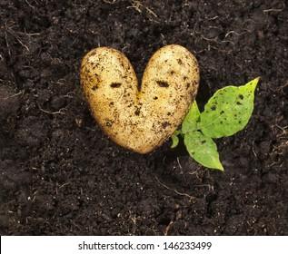 heart shaped potato lying on the garden soil background in bright daylight