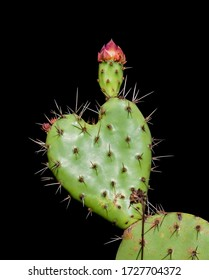 heart shaped prickly pear cactus close up on a black background