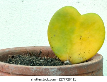 Heart shaped succulent green leaves of Sweetheart Hoya or Valentine Hoya (Hoya kerrii) with plant stem isolated on white background