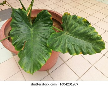 Heart shaped variegated leaves of Elephant Ears or Variegated Alocasia, rare tropical foliage plant in a big vase.