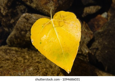 heart shaped yellow fall leaf from a cottonwood tree floating in a lake