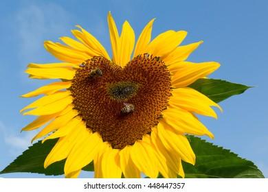 Heart of sunflower
