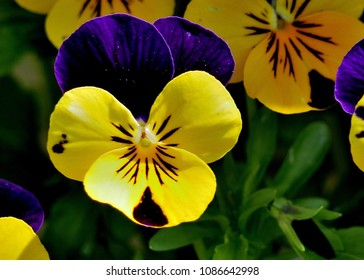 Heartease Viola Tricolor