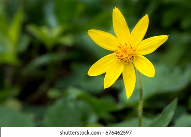 Heartleaf Arnica (Arnica cardifolia) in Jasper National Park, Alberta, Canada