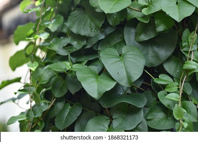 Heartleaf Philodendron vine (Philodendron hederaceum) produces shiny, waxy heart-shaped leaves