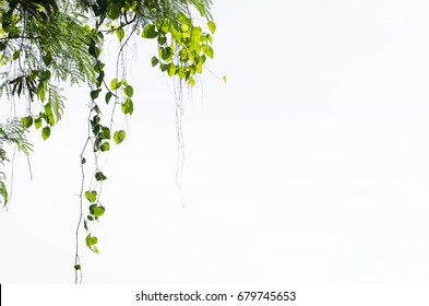 Hearts shaped green leaf vines isolated on white background