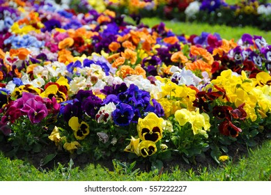 Heartsease, flower garden - close-up, different colours of spring, flowerbed