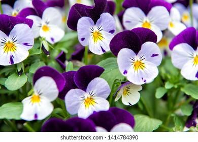 Heartsease viola flower. Viola genus of flowering plants in violet family violaceae. Beautiful gorgeous flower. Viola exhibition. Park and landscape design. Flower shop. Beauty plants.