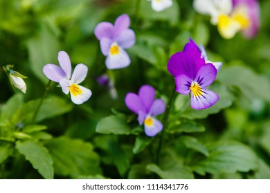 Heartsease (Viola tricolor) in garden