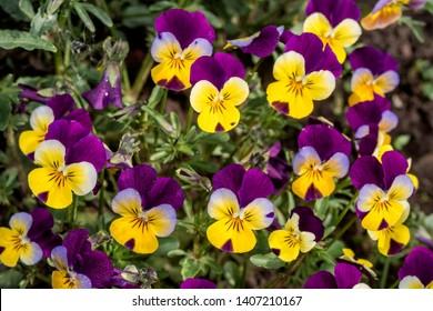 Heartsease (Viola tricolor) in garden