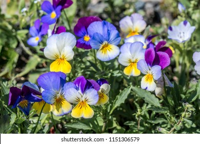 Heartsease (Viola tricolor) in garden, Moscow region, Russia