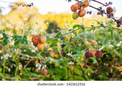 Heartseed (Cardiospermum halicacabum) plant in the caatinga biome - Oeiras, Piaui (Brazil)
