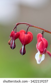 Heart-shaped Bleeding heart flower in pink and white color
