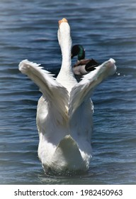 Heart-shaped form on a white goose's flapping wings