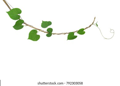 Heart-shaped green leaf climbing vine plant, Cowslip creeper twisted around dried twig isolated on white background, clipping path included.