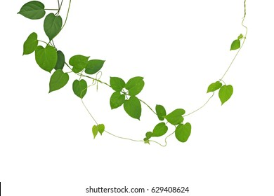 Heart-shaped green leaf climbing vines isolated on white background, clipping path included. Cowslip creeper the medicinal plant.