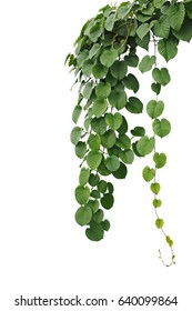 Heart-shaped green leaf jungle vines, hanging climber vine bush isolated on white background, clipping path included.