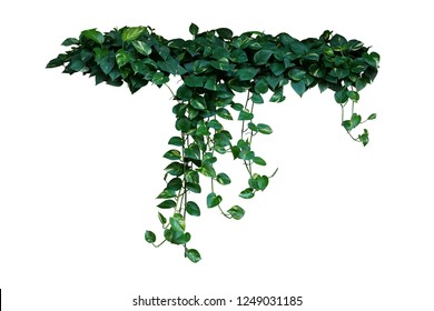 Heart-shaped green variegated leaves of devil's ivy or golden pothos the tropical forest plant that become popular houseplant, hanging vines bush isolated on white background with clipping path.