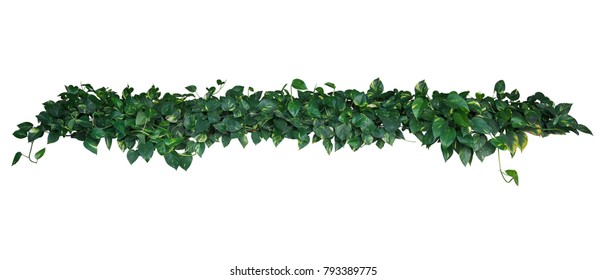 Heart-shaped green yellow variegated leaves of devil's ivy or golden pothos (Epipremnum aureum), tropical plant vines bush isolated on white background, clipping path included.