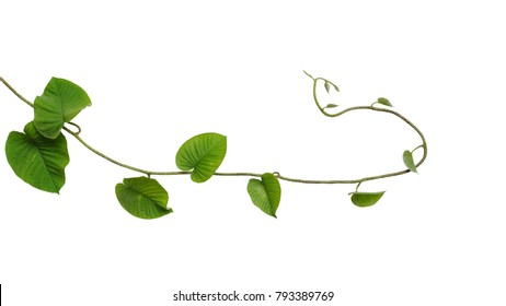 Heart-shaped jungle green leaves vine tropical liana plant isolated on white background, clipping path included.