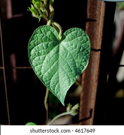 Heart-shaped morning glory leaf