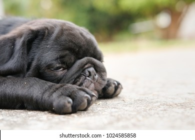 Heat Stroke symptom of pug dog because high temperature in very hot day.