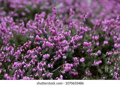 heath flowers in spring winter heath Erica carnea