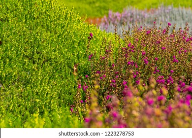 Heath and Heather in Garden with Shallow Depth of Field