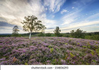 Heather in bloom in the New Forest