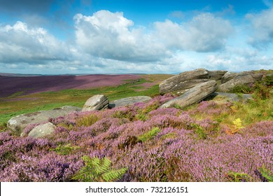 Heather in bloom on Carl Wark, an ancient hill fort in the Derbyshire Peak District