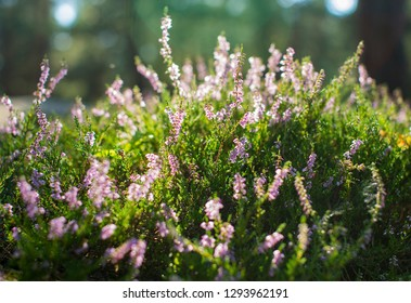 Heather blooming in the forest