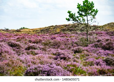 The heather blooms in the dunes on the island of Fanø on the Danish west coast and on the North Sea