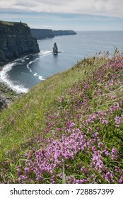 Heather blossom on the cliffs slope with Cliff of Moher in the background. Ireland, July 2017