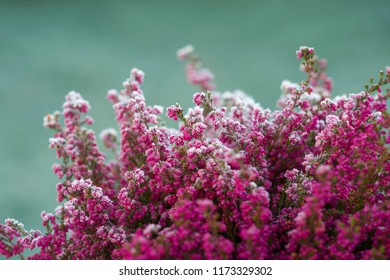Heather in closeup with frost on the flowers