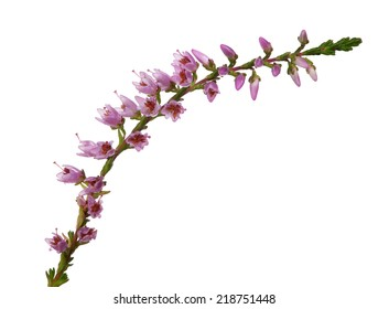 heather with dark pink flowers isolated on white background