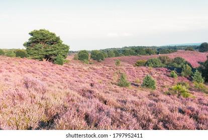 Los campos de brezo en el Parque Nacional Veluwe durante la puesta de sol en los Países Bajos