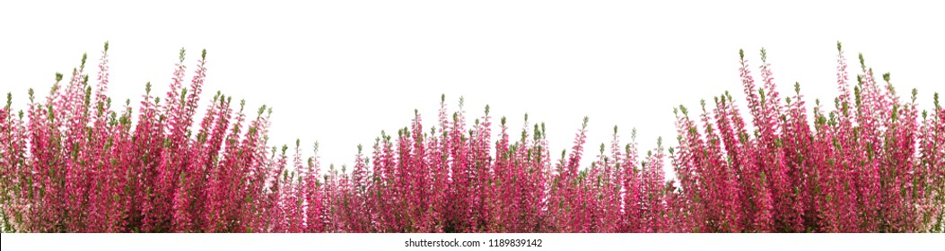 Heather flower background isolated on white. Panoramic photo with blank space for text.
