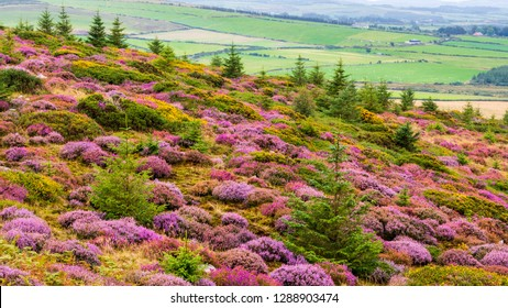 Heather flower, Calluna vulgaris, season in Wicklow Mountains, Ireland. Idyllic landscape of wildflowers in purple, pink and mauve shades blooming over the Irish hills in summer.