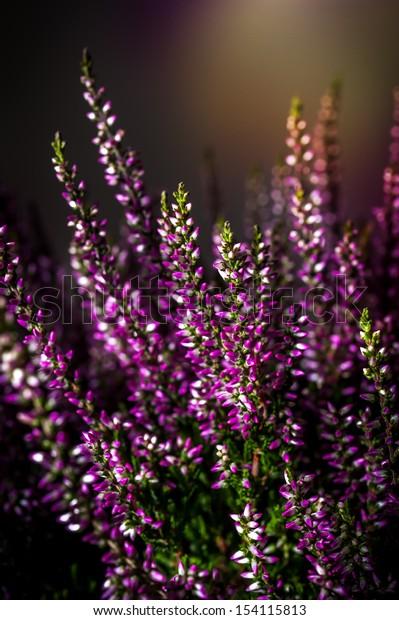 Heather flowers. Floral Design