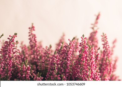 Heather flowers in gray flowerpot. White background. Space for text.